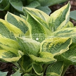 Hosta (funkia) 'Wide Brim'