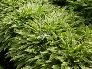 Hosta (funkia) 'Stiletto'