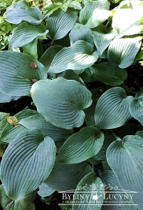 Hosta 'Blue Diamond'