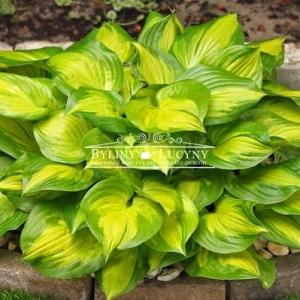 Hosta (funkia) 'Lakeside Banana Bay'