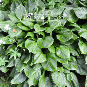 Hosta Fortunea