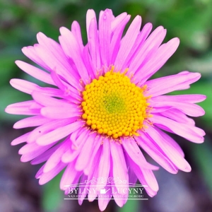 Aster alpejski 'Happy End'
