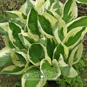 Hosta (funkia) 'Patriot'
