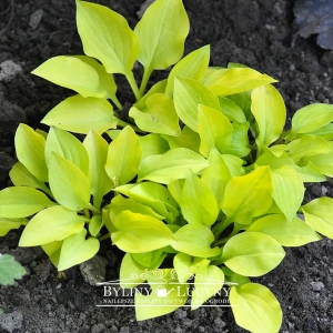 Hosta mini 'Gold'