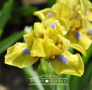 Irys niski 'Honey Wind'