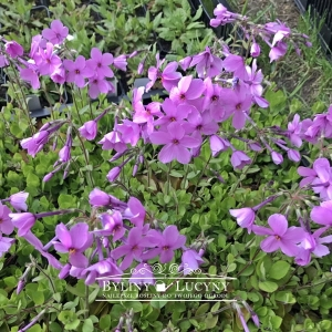 Floks rozłogowy 'Seduction Pink'