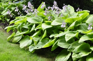 Hosta (funkia) 'Sum and Substance'