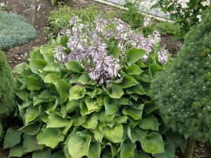 Hosta (funkia) 'Blue Lace'